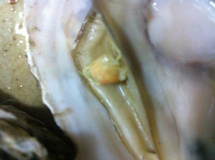 牡蠣 1.jpg