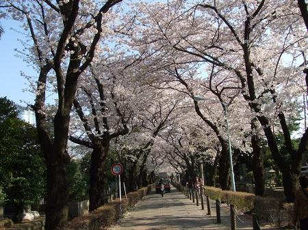 青山墓地の桜.jpg