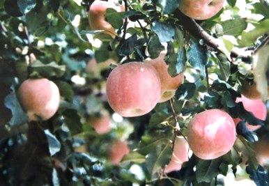 上高地帝国 リンゴ
