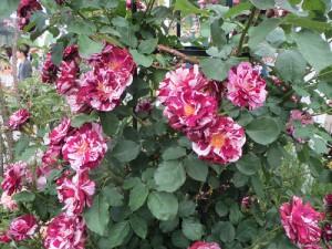 マダラのバラ