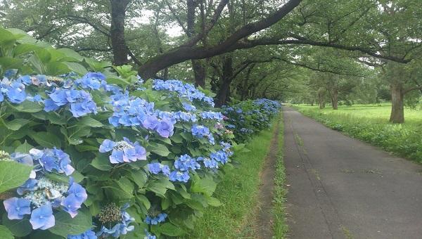 展勝地・青い紫陽花